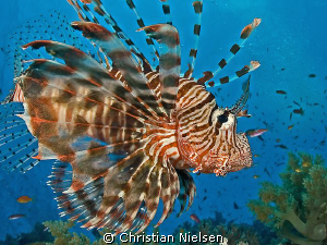 Lionfish on Elphinstone.